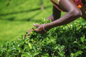 Voyage au Sri Lanka- plantation de thé