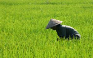 Homme dans une rizière au Vietnam