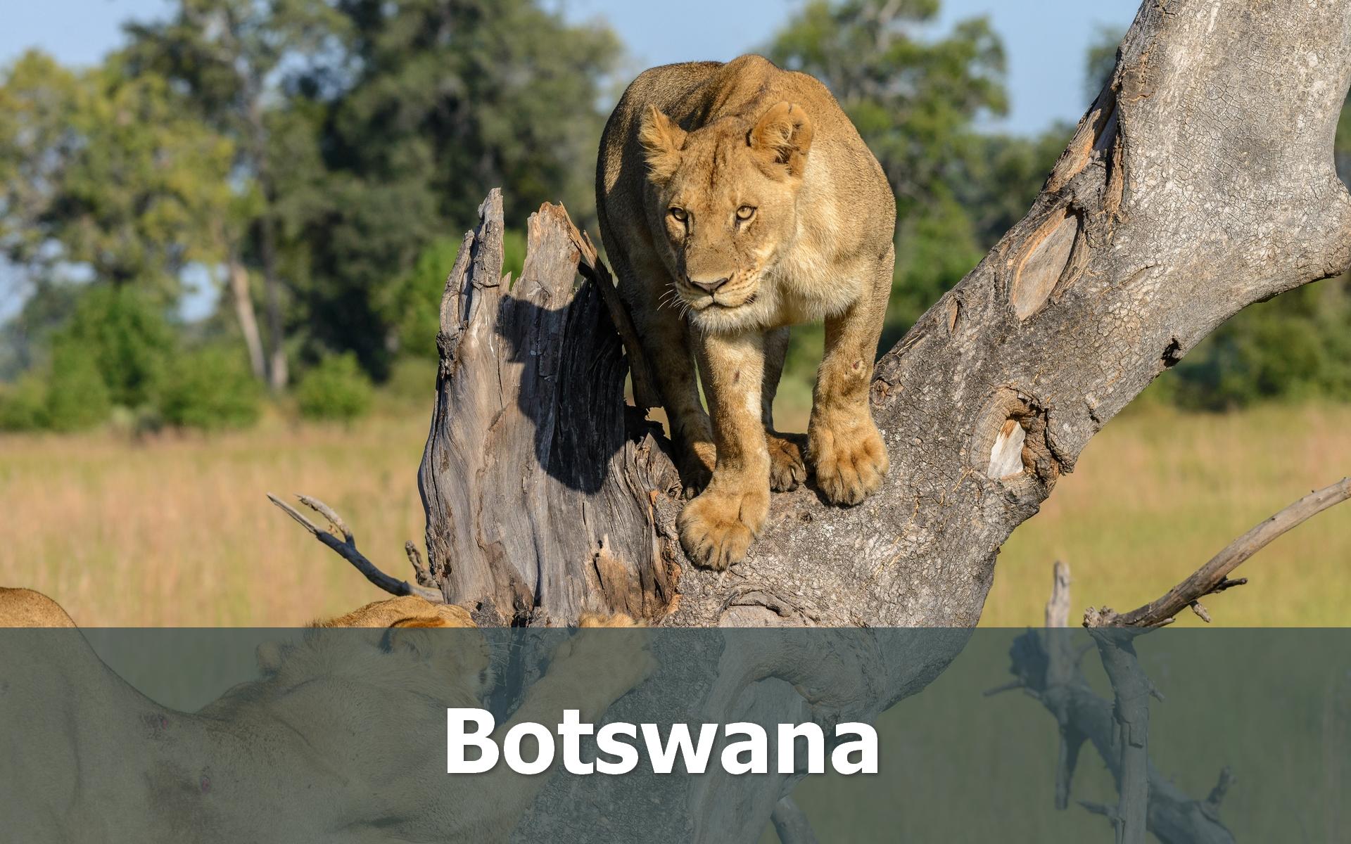 Voyage au Botswana sur-mesure lion