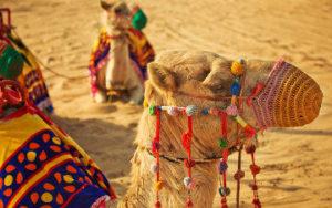 Chameau du desert de Dubaï