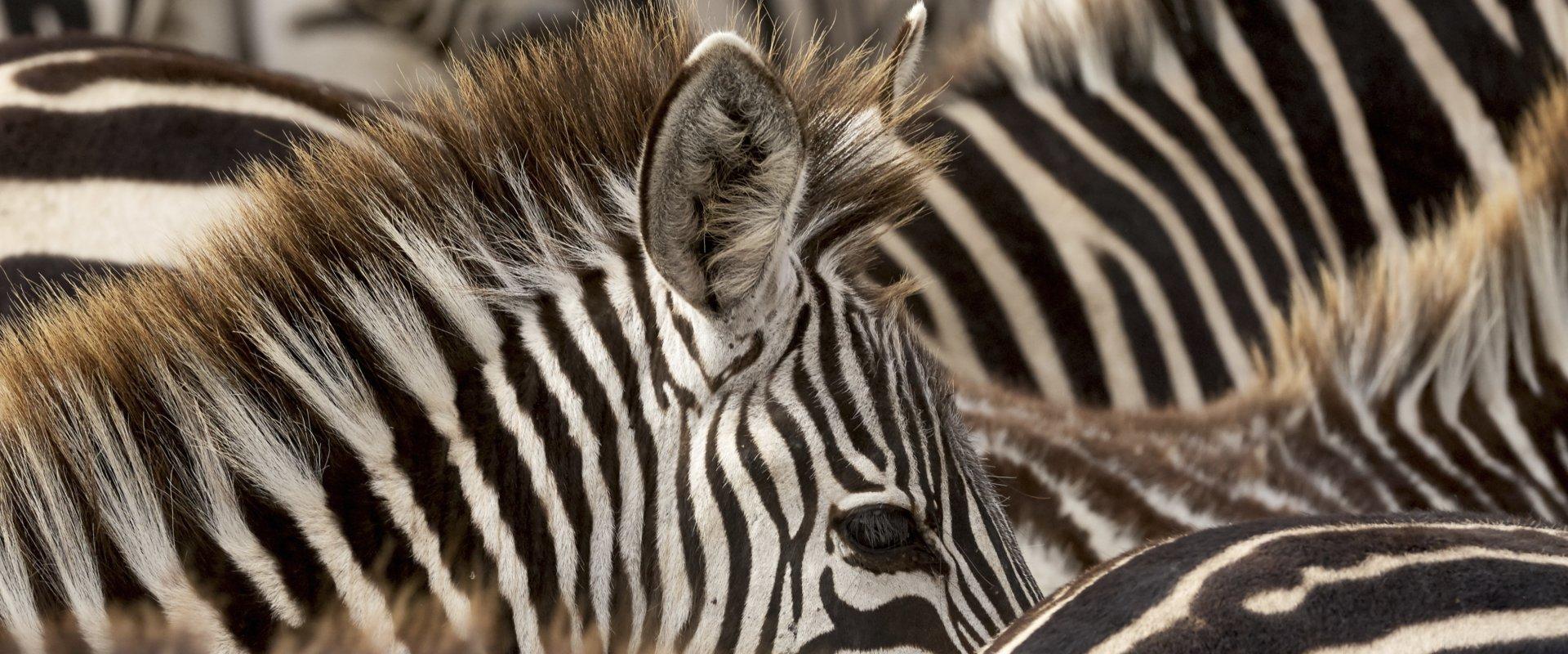 Voyage en Afrique - zèbres