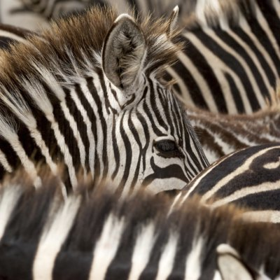Head of a young zebra emerging from black and white stripes of zebras