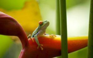 Grenouille du Costa Rica