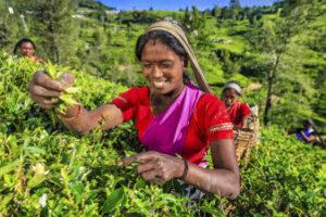 Cueilleuse de thé au Sri Lanla