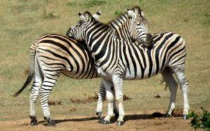 Zèbre - Safari Afrique du Sud