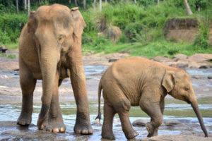 Éléphants du Sri Lanka