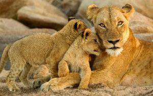 Lion en Afrique - Parc Kruger