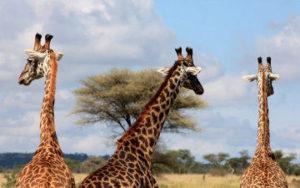 Girafes en tanzanie