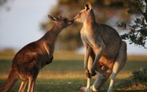 Famille de Kangourous en Australie