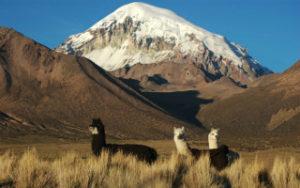 Lamas avec les montagne de la Bolivie