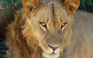 Lion au Parc Chobe