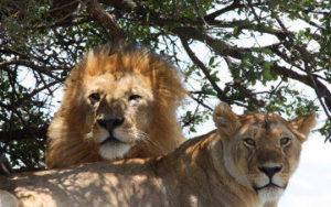 Lions en tazanie