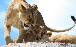 Lions au Kenya