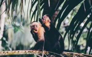 Singes du Costa Rica