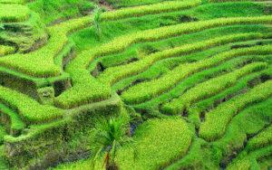 Riziàre en terrasse de riz en Indonésie