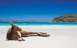 Voyage en Australie kangourou sur la plage
