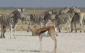 Voyage en Namibie - Zèbre