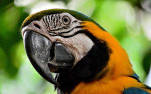 Perroquet en Amazonie au Brésil