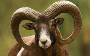 Mouflon en Corse